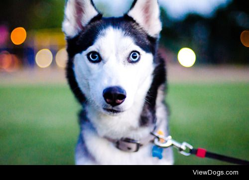 theseinconvenientfireworks:  New lens, and it's husky approved!