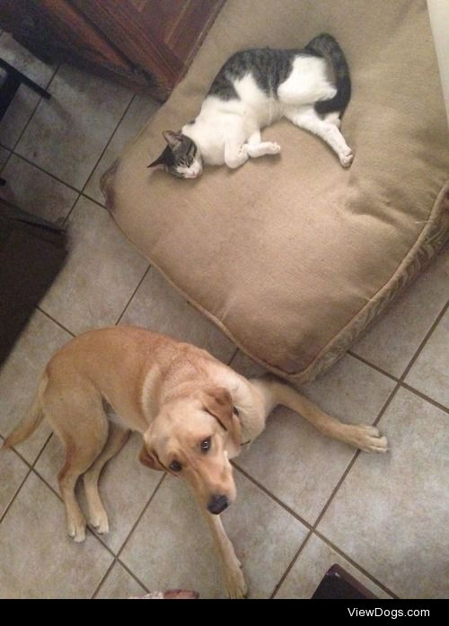This is Skye, she's a lab and our cat stole her bed