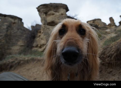 'Neka, a 8 year old Afghan Hound out for a hike