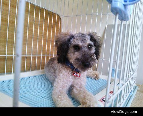 "12 months old Toy Poodle, ""Pudel"".D.I.Y. summer cut. (^^)"