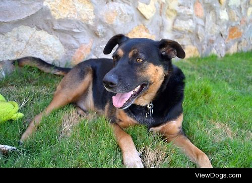 Rowan <34 year old German Shepherd Rottweiler mix. My baby…