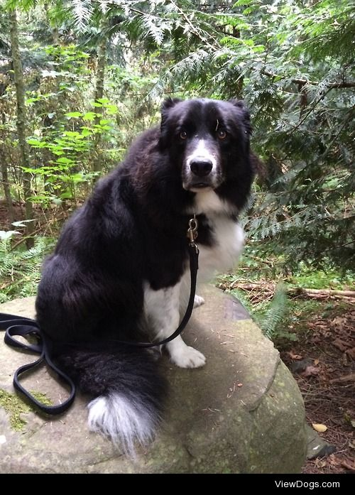 This is my grandma's border collie, Smokie. I'm visiting for 2…