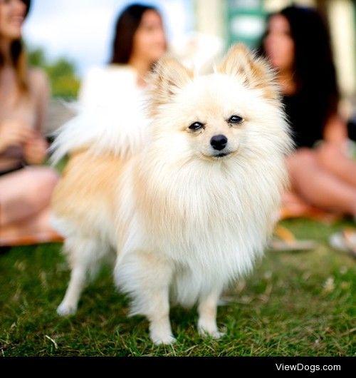 thedogist:  Pashmak, Pomeranian, English Bay Beach, Vancouver,…