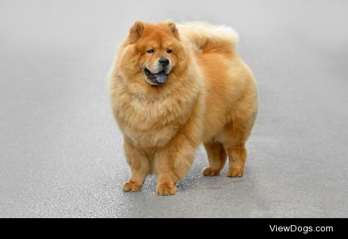 doglight:  Blue Chow chow dogs are known for having a blue…