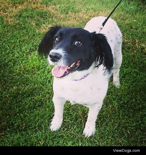 This is Holly, the collie-spaniel cross, enjoying her holiday in…
