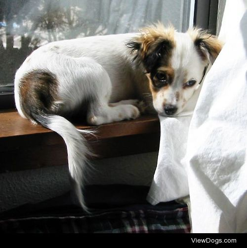 Baby picture of Lulu, a Cavalier King Charles Spaniel/Papillon…