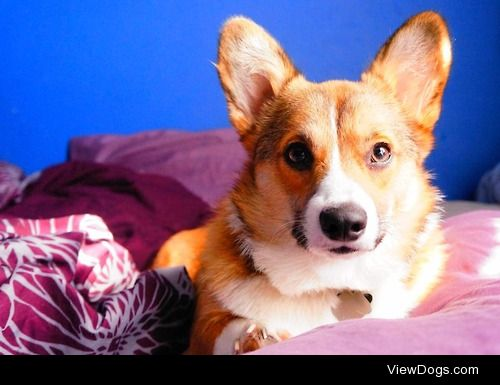 Mylo. 2 year old Pembroke welsh corgi and the most lovable…