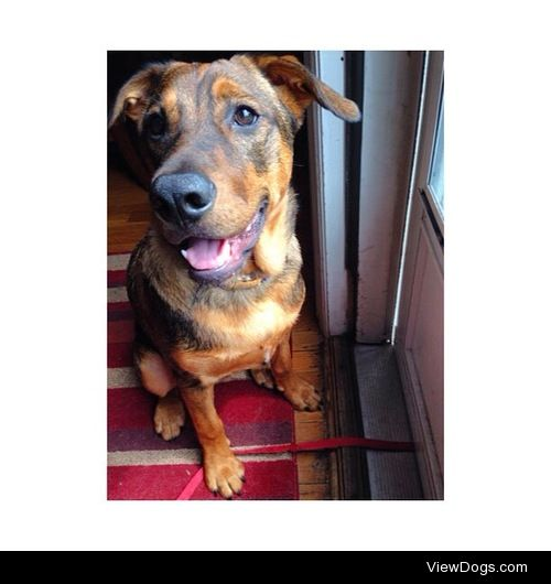 Australian Cattle dog mixed with Lab