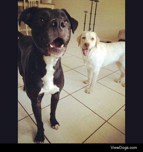 George and Nora. Pit bull/lab and English Yellow Lab.