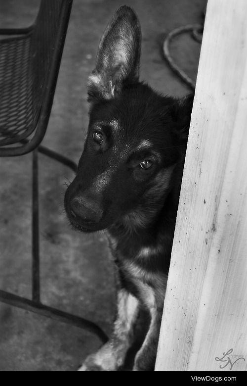Kaizen, my 3 month old German Shepherd pup