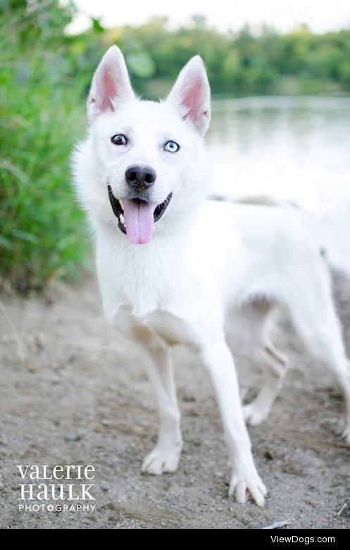 Aloha American Eskimo Dog & Husky Mix • Young • Female •…