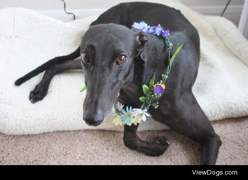 My retired racer, Portia (pun intended). I adopted her from a…