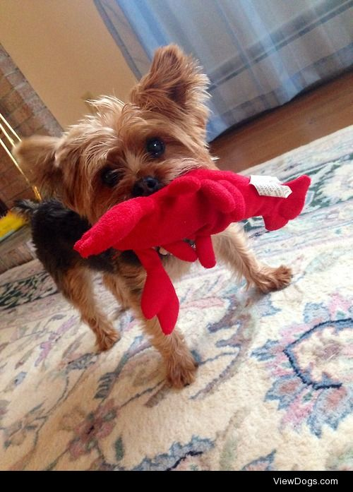 This is my 3 year old Yorkshire Terrier named Sasha. I love her…