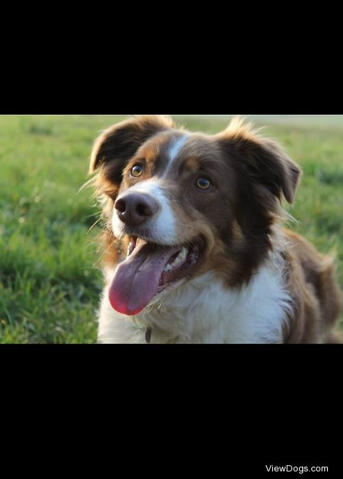 My 3 year old red and white Border Collie: Chester