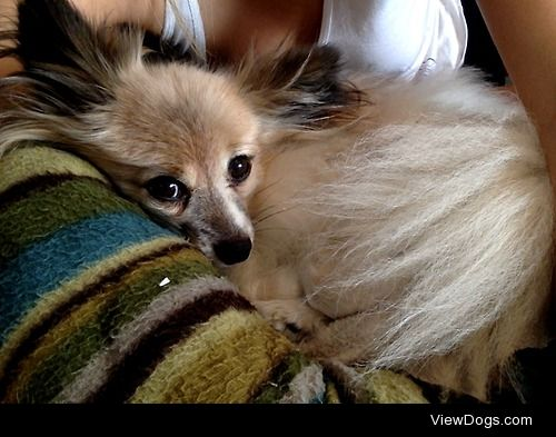 This is Smudge a 10 year old papillon. He isn't one to cuddle…