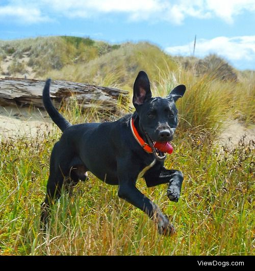 Drake,1.5 year old Black lab, at the beach in Florence, Oregon.