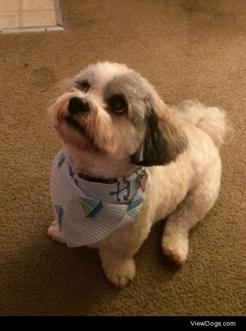 Our year and a half old  Havashu Oliver showing off his bandana…