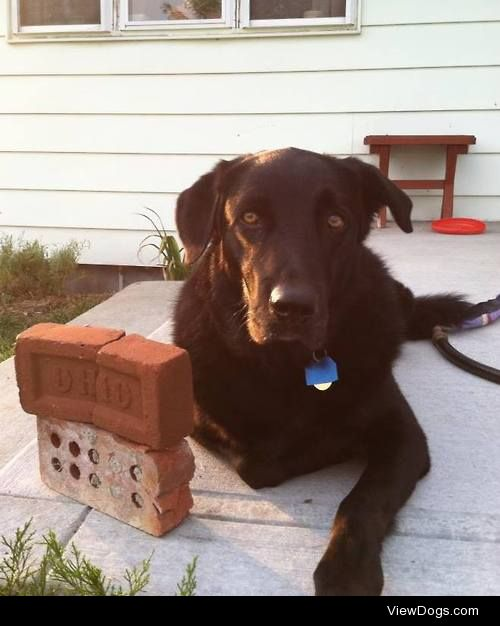 This is my boy Cleveland, a 5 year old black lab golden…