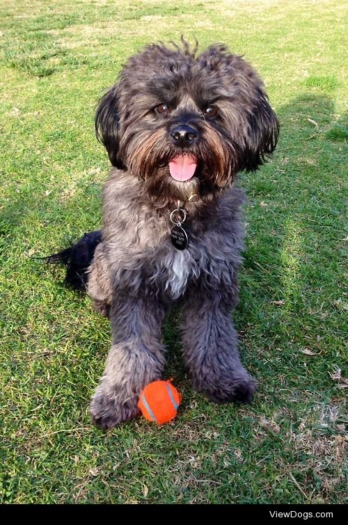 Pavlov, my two yeah old poodle/terrier/shih tzu/who knows what…