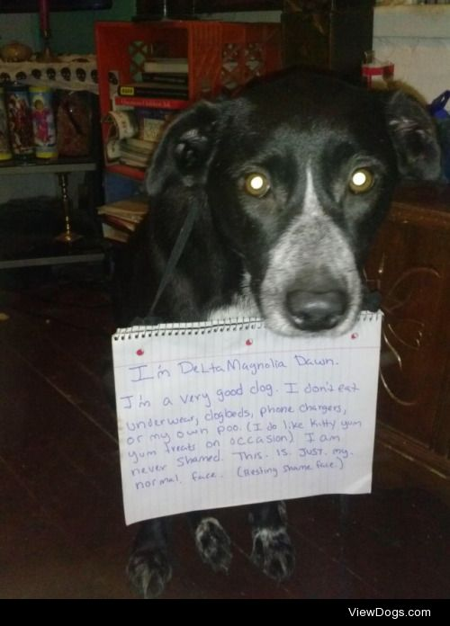 R.S.F. (Resting Shame Face)  Delta Magnolia Dawn is a great dog,…