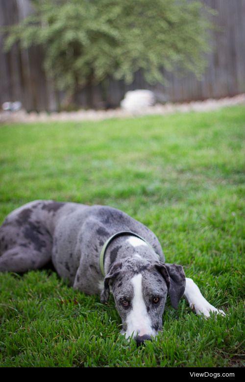 Great Dane dog    Juan Carlos Canez