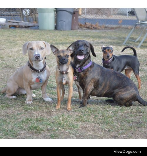 These are my beautiful mixed breeds named Petey, Rory, Maxi and…