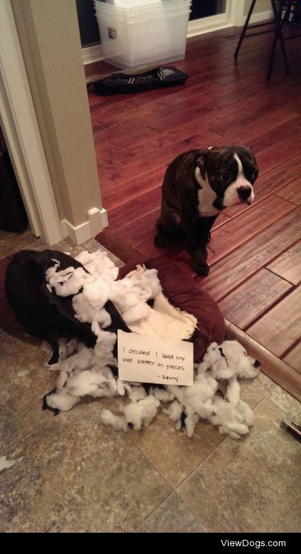 Best Shameful Looks: BostonTerriers  I decided I like my bed…