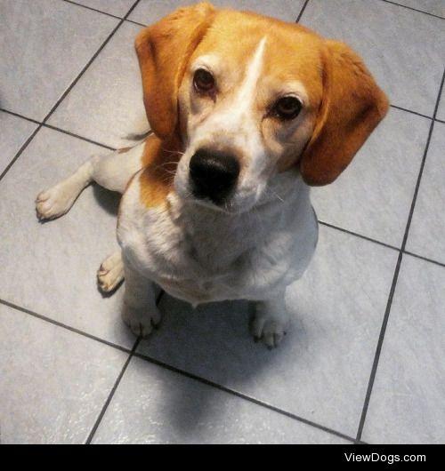 Berci the 7 yrs old beagle