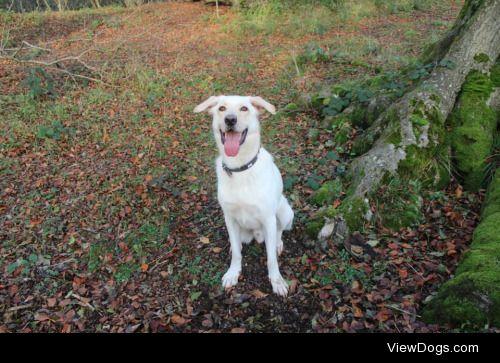 This is Mylo, he is a german shepherd x golden retriever and he…
