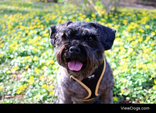 This is Pete the Schnoodle. He's a schnauzer-poodle mix, but I'm…