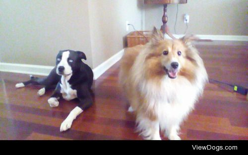 Baby and Kalli Kalli's a sheltie and Baby is a rescue and…