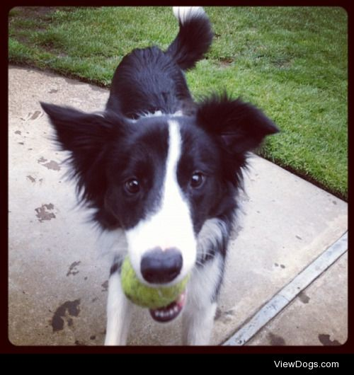 Oliver the Border Collie loves his tennis balls.