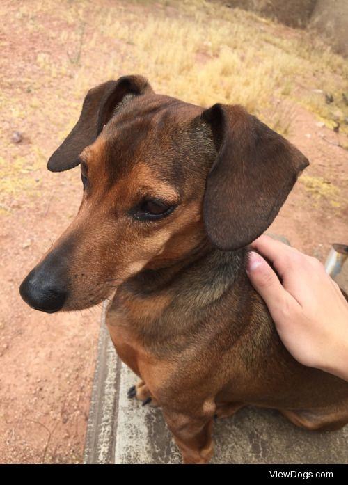 Oscar the dachshund, aka Oscar Meyer Weiner