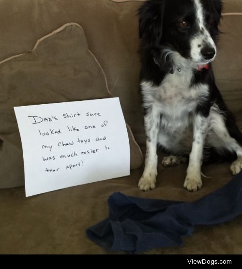 Shirts are dog toys, right?  Dad's shirt sure looked like…