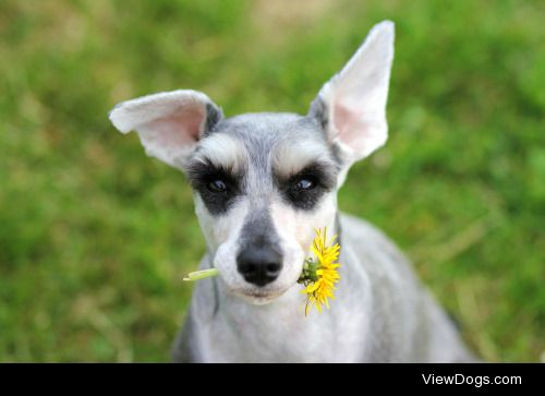 perfectdogs:  Aska in the sun for handsomedogs Sunkist Sunday!