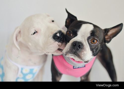 Emma and Nova, a one year old Boston terrier and a two month old…