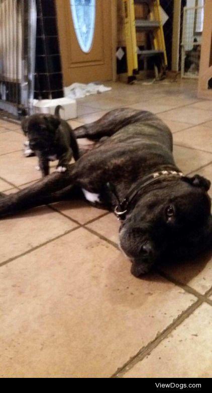 Bull mastiff puppies and dad