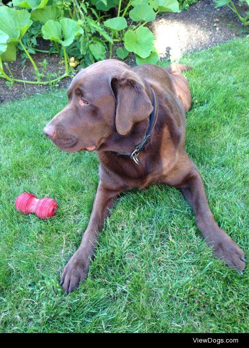 Sherlock, 50kg Labrador, with his so far indestructible chew…