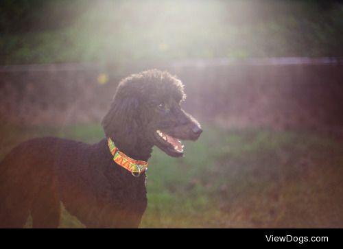 guidedogintraining:  Echo for handsomedogs Sunkist Sunday.