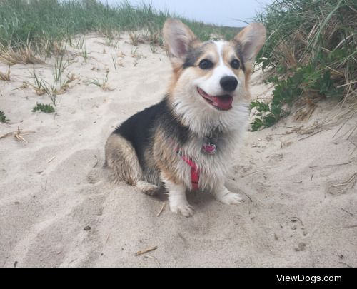 Lacey, the two year old Pembroke Welsh Corgi. @laceythe