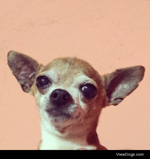 My Chihuahua Rambo looking concerned in this picture…