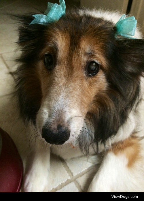 Hi, my name is Cassie and I am a fierce 10-year-old sheltie who…