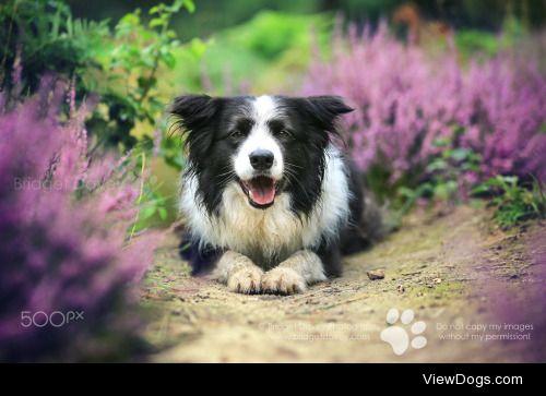 Bridget Davey|Blake | Dog Photography Bedfordshire