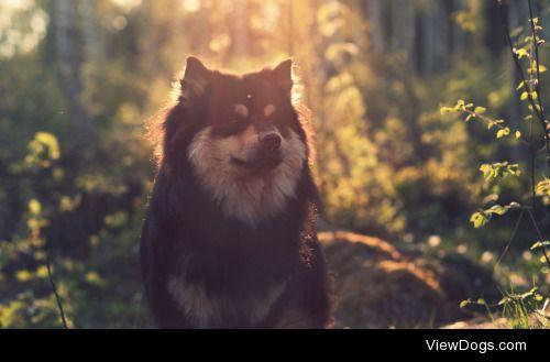 Tom|Finnish Lapphund, forest sunset
