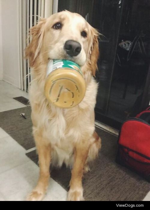 This is Libby, she's half golden lab and half golden retriever….