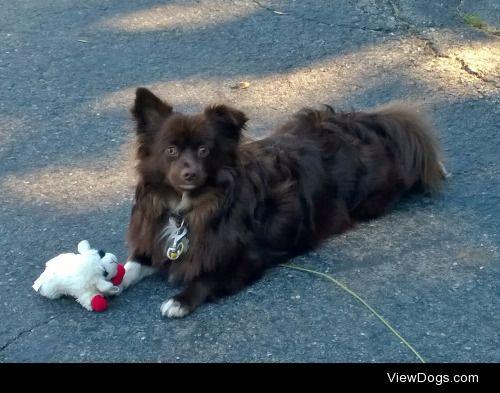 Banjo, a Shih-Tzu/Pomeranian mix, with his prized toy Lamby. He…