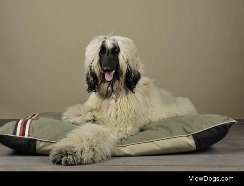 Kurt Pas|afghan hound