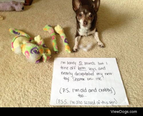 Who Needs Legs Anyways?  George, my almost 9 year old Chihuahua,…