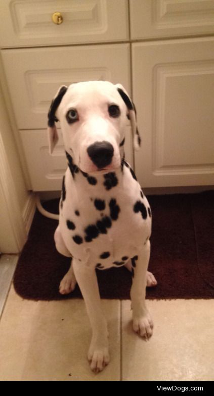 My puppy Dalmatian named Benji age: 8 months