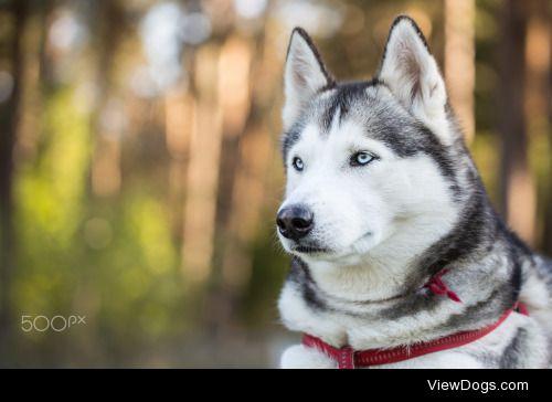 Sergey Filonenko|Portrait of Siberian Husky. Closeup.